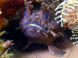 Frog fish One Mile Jetty Carnarvon Western Australia by Brad Cox 